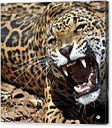 Jaguar Intensity Acrylic Print