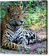 Jaguar Resting From Play Acrylic Print