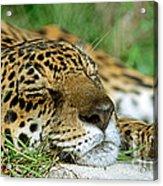 Jaguar Resting Acrylic Print