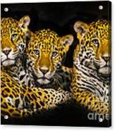 Jaguars Acrylic Print