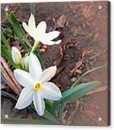 January 2014 Paper-whites In Bloom Acrylic Print