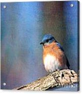 January Bluebird Acrylic Print