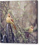 January Cardinals Acrylic Print