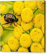 Japanese Beetle She Ruv You Ya Ya Ya Acrylic Print