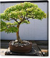 Japanese Bonsai Tree In National Acrylic Print