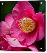 Japanese Camellia-the Official State Flower Of  Alabama Acrylic Print