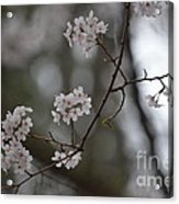 Japanese Cherry Blossoms Acrylic Print