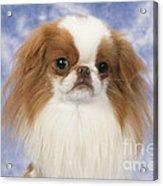 Japanese Chin Dog Acrylic Print by John Daniels
