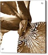 Japanese Iris Flower Sepia Brown 2 Acrylic Print