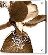 Japanese Iris Flower Sepia Brown Acrylic Print