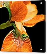Japanese Iris Orange Black Acrylic Print