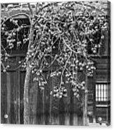 Japanese Kaki Tree  Persimmons Acrylic Print