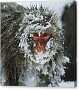 Japanese Macaque Covered In Snow Japan Acrylic Print