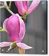 Japanese Magnolia Acrylic Print by Sonali Gangane