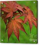 Japanese Maple Autumn Colors Acrylic Print