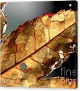 Japanese Maple Leaf Brown - 4 Acrylic Print