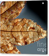 Japanese Maple Leaf Brown - 1 Acrylic Print