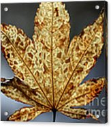Japanese Maple Leaf Brown - 3 Acrylic Print