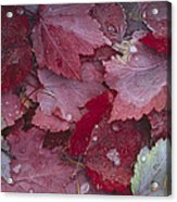 Japanese Maple Leaves With Frost Acrylic Print