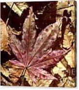 Japanese Maple Tree Leaves Acrylic Print