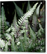 Japanese Painted Fern Acrylic Print