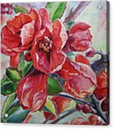 Japanese Quince In Blossom Acrylic Print