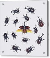 Japanese Rhinoceros Beetle Males Acrylic Print