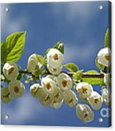 Japanese Snowbell Branch Panorama Acrylic Print