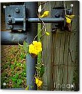 Jasmine Flowers On Gate Latch Acrylic Print