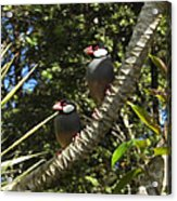 Java Sparrows Acrylic Print by Colleen Cannon