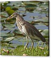 Javan Pond Heron With A Fish Dthn0069 Acrylic Print