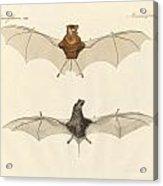 Javanese Bats Acrylic Print