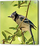 Jay In Nature Acrylic Print