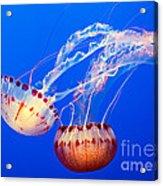 Jelly Dance - Large Jellyfish Atlantic Sea Nettle Chrysaora Quinquecirrha. Acrylic Print