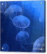 Jellyfish   #0547 Acrylic Print