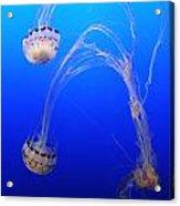 Jellyfish 1 Acrylic Print