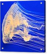 Jellyfish Acrylic Print by T C Brown