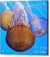 Jellyfish Trio Acrylic Print