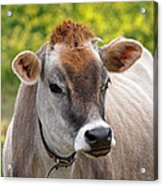 Jersey Cow With Attitude - Square Acrylic Print