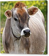 Jersey Cow With Attitude - Vertical Acrylic Print