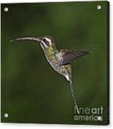 Jewel On Wings.. Acrylic Print