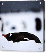 Joe Fox Fine Art - Gentoo Penguin Pygoscelis Papua Lying In The Snow Cuverville Island Antarctica Acrylic Print