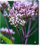 Joe Pye Weed And Bug Acrylic Print