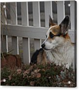 Johnny By The Fence Acrylic Print