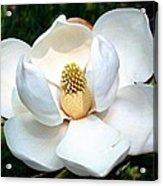 John's Magnolia Acrylic Print
