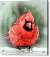Jolly Old ....... Cardinal  Acrylic Print