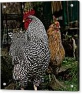 Jos Rooster Acrylic Print