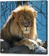 Joshua The Lion On His Rock Acrylic Print