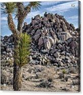 Joshua Tree 13 Acrylic Print