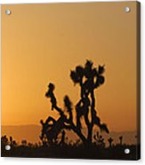 Joshua Tree At Sunset Acrylic Print
